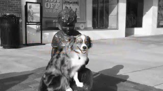 """2 Year Old Miniature American Shepherd """"Baxter"""" Before/After Video 