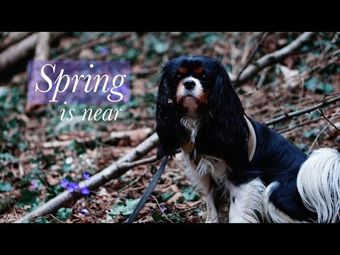 Almost Spring-Walk | Cavalier King Charles Spaniel