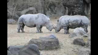 Rhinos At Baltimore Zoo