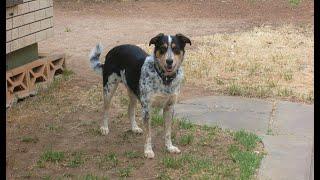 Border Collie X Blue Heeler Best Dog Breed Ever (mj)