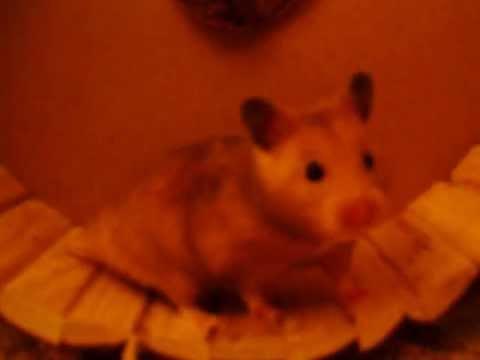 Hamster Alva im Rad