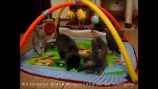 Британские котята питомника Шантерель