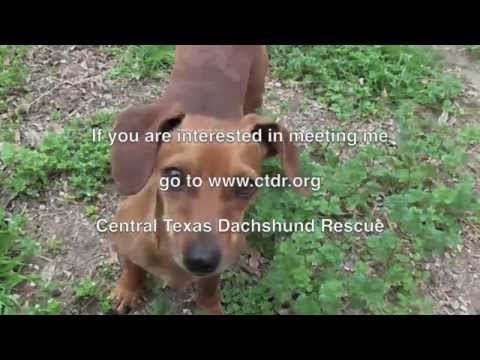 Jesse (From Central Texas Dachshund Rescue) Learns His First Command