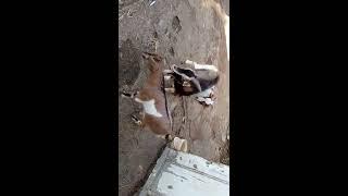 Accoppiamento capre