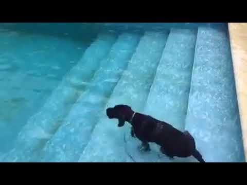 Дратхаар приучаем к воде Тори