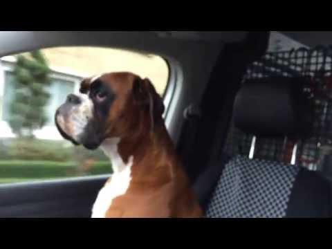 Boxer Dog Arex Loves Car Riding