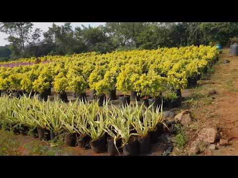 Plant Wholesaler, Garden Center, Forest Plants in Pune - Siddhivinayak Green India