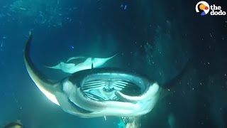 Manta Rays Put On A Show For Divers