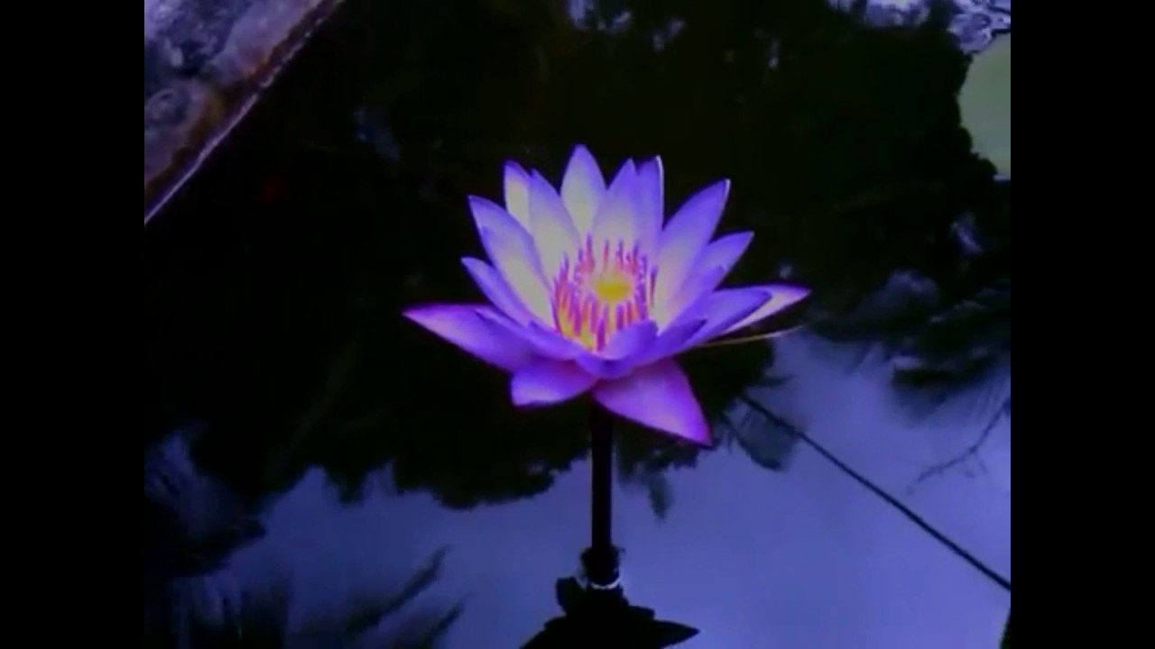 Blue waterlilly with full description youtube blue waterlilly with full description izmirmasajfo