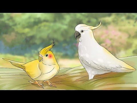 Выбираем попугая: САМЕЦ ИЛИ САМКА? В чем различия?
