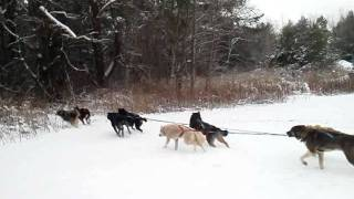 Dogsled Rides at the Omni Mount Washington in NH with Muddy Paw Sled Dog Kennel