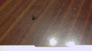 House Fly Dies And Its Back End Shoots Off!!!?