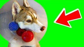 Я БОЮСЬ ВОЗДУШНЫХ ШАРИКОВ!! (Хаски Бублик) Говорящая собака Mister Booble