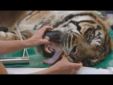 Smile for the camera as Danish tiger goes to the dentists