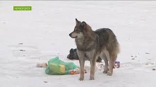 В Черногорске собаки снова напали на людей: пострадал ребёнок