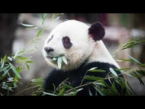 Xinhua reporter takes you to see mother panda Huanhuan