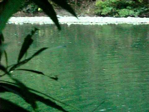 Timbua sungai sugud (kokobungon)