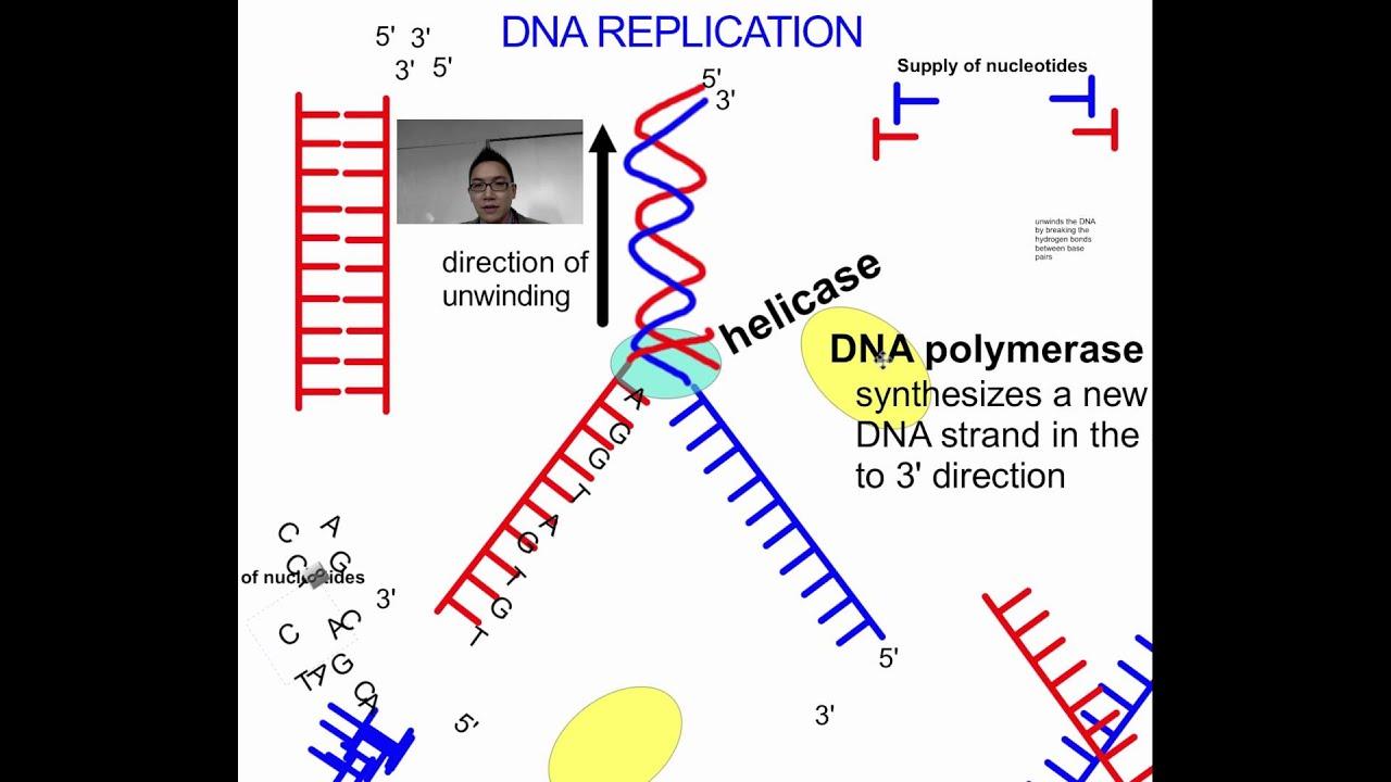 Dna replication sl ib biology youtube pooptronica