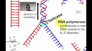 DNA Replication SL (IB Biology) | Alex Lee