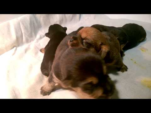 6 Norwich Terrier puppies Alta Carya FCI 2017 - 2 weeks old