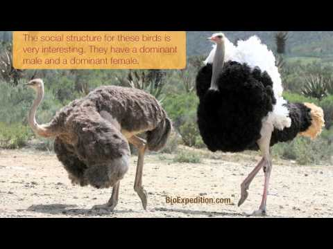 Information about Ostriches
