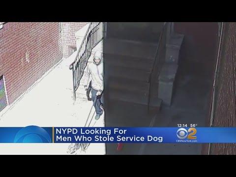 Service Dog Stolen In The Bronx