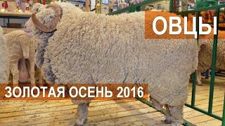 Овцы на выставке Золотая осень 2016