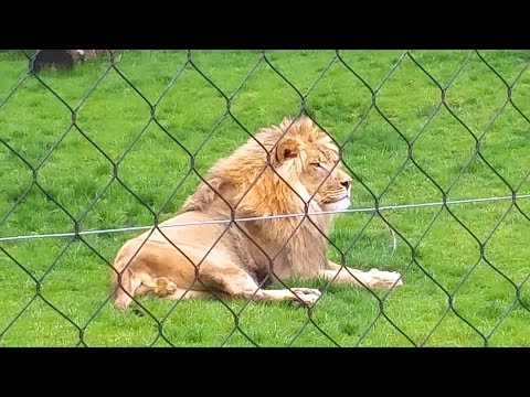 Lion At The Turtle Back Zoo West Orange, New Jersey  USA  : May 12 2018 ---
