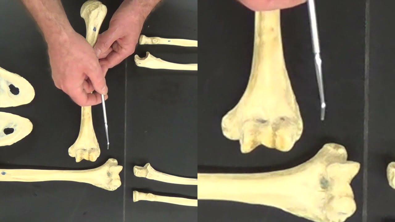 Bones Of The Upper Limb Youtube