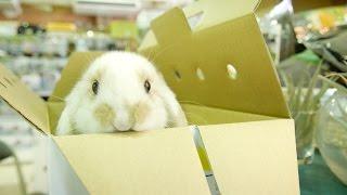 (ウサギの赤ちゃん)ウサギがわがやにやってきた ホーランドロップイヤー