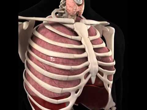 Vị trí giải phẫu Tim trong lồng ngực