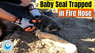 Seal Rescued from Fire Hose