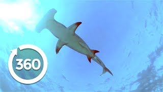 Swimming with Hammerhead Sharks (360 Video)