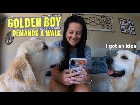 Golden Boy Demands Walks | Does He Get His Way?
