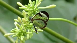 видео Грета Ото (лат.Greta oto), или стеклянная бабочка