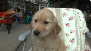 http://life-with-dog.net/kantou/golden_kantou.html 埼玉県のゴールデ...