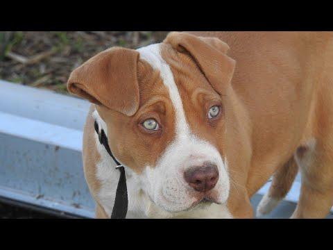 Amazing Facts on Bull Mastiff   In Hindi   Dog Facts   Animal Channel Hindi