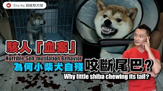 駭人『血案』為何🐶小柴犬自殘咬斷尾巴?🎬🎞🎞🎞 Horrible Self-mutilation Behavior Why Iitte shiba 🐶chewing its tail ?🎞️