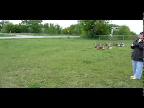 Swedish vallhund dog park chasing a bird