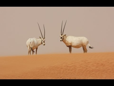 Arabian desert expedition summary - conservation of Arabian oryx, Gordons' wildcat and other species