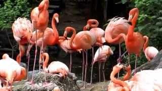 東山動物園の色鮮やかなベニイロフラミンゴの動画です。