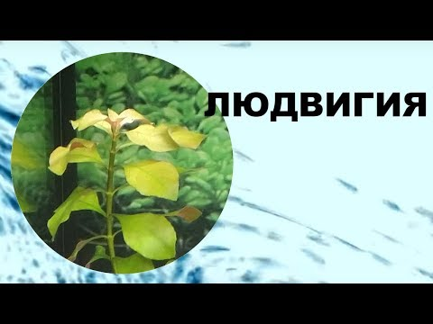 Людвигия в аквариуме, болотная,  ползучая, рубин, содержание, как сажать. Аквариумные растения.