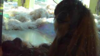 Orangutan Mating-Schimpanzee Toni 49 years old-Baby Gorilla Kajolu Munich Zoo