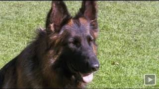 Ausgebellt: Deutscher Schäferhund am Ende - SPIEGEL TV Magazin