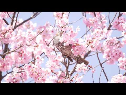 桜と鳥(スタビライズ前)