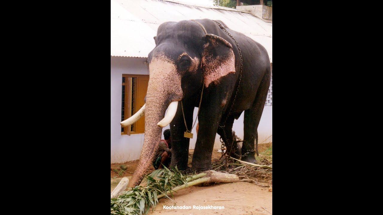 Koottanadu Rajasekharan /star elephants /kerala elephant ...