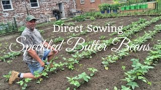 HD How To Grow Speckled Butter Beans By Direct Sowing