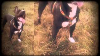 Zaya staff bull terrier 2 Thumbnail