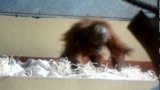 Sumatran orangutan, Moira (Budapest Zoo) 18.07.2012.