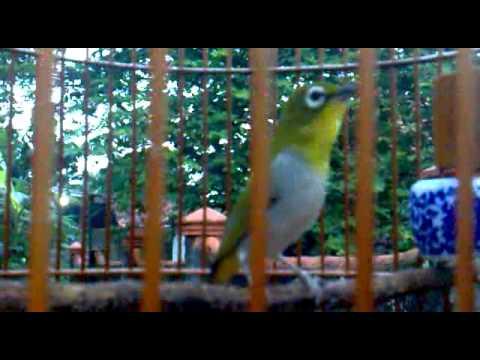 pleci Auriventer from purwakarta west java ( si unyil )